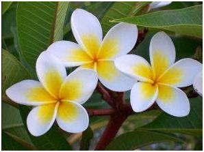 Manfaat Bunga Kamboja Asia Fitness Today